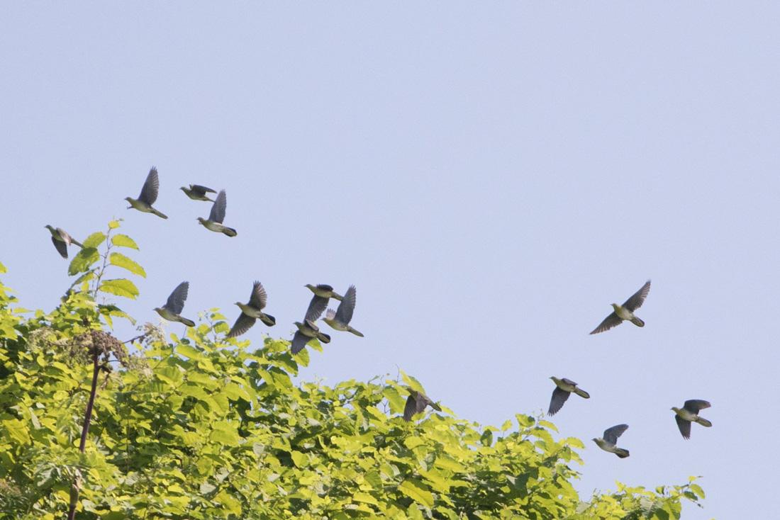小樽市の鳥 アオバト